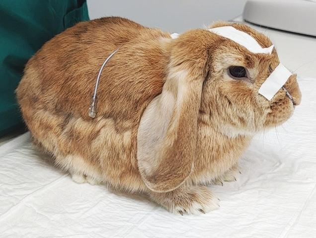 Colocación de una sonda nasogástrica en conejos